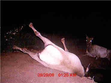 Trail Camera Picture of an Elk