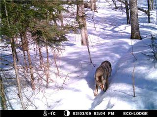 Western Grey Wolf picture taken with a Moultrie I-40 trail camera in Algonquin Park, Ontario