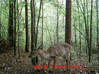 Trail camera picture of a deer