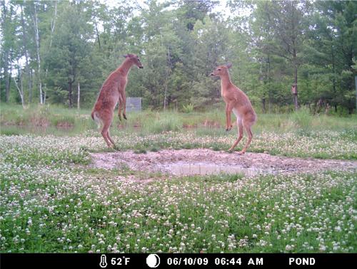 Dueling-Bucks_61709