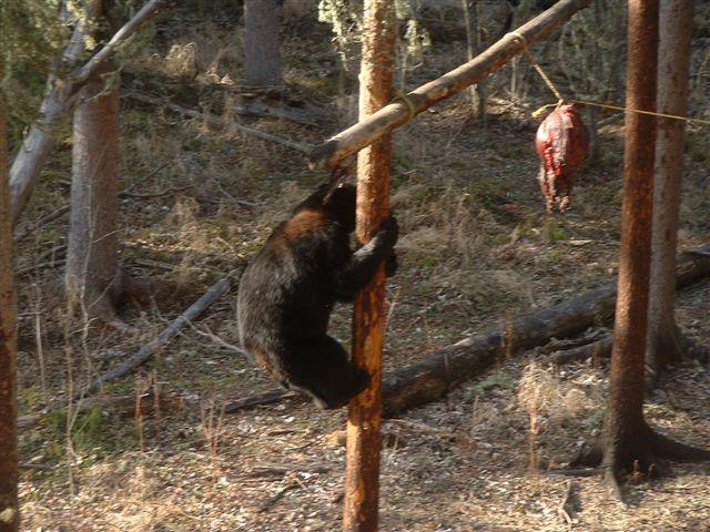 Bear_hunting_05192009B