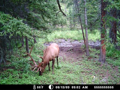 Elk_82609