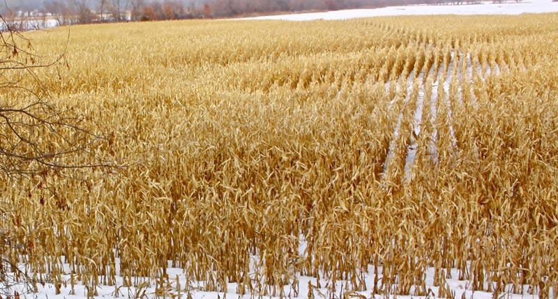 Hunting-Standing-Corn