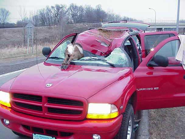 Deer kill 1