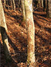 Deer_hunting_scraped_tree