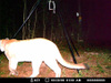 Moultrie Game Camera Photo Helps Louisiana Officials Confirm Cougars In Louisiana