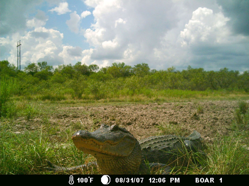 Game Camera Alligator Picture